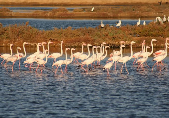 By joining a bike guided tour in Ria Formosa by MTB Algarve you can watch the beautiful flamingos